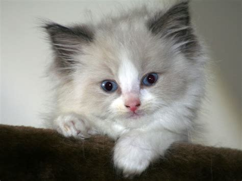 ragdoll information health pictures training pet paw