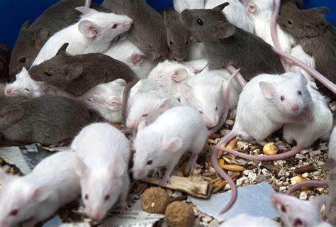 imagenes en movimiento de ratones cuidados esenciales para prevenir una plaga de ratones
