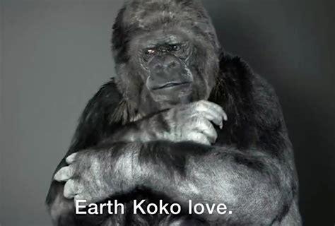 Koko Ravel koko the gorilla has an important sign language message