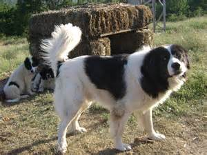 karakachan dog pictures wallpapers9
