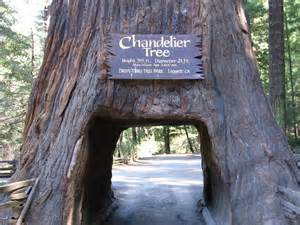 chandelier drive thru tree panoramio photo of drive thru tree chandelier tree