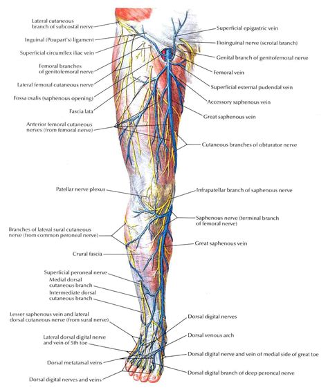 the nerves of the leg muscles of the leg the nervous