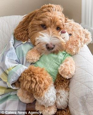 reagan the labradoodle and his owner's grandson wear