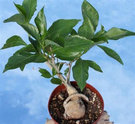 Benih Baobab Adansonia Digitata by Jual Benih Baobab Adansonia Digitata 5 Biji Non Retail