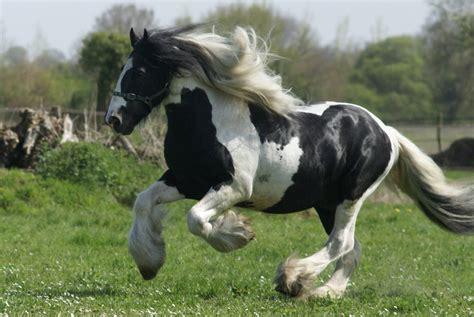 Größte Pferd Der Welt by Im 225 Genes De Caballos