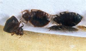 bed bugs new york city new york s five star hotels infested with bed bugs after