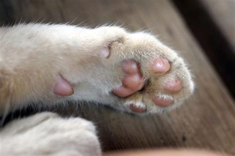 paw pad peeling what to do for pads on a cat s cuteness