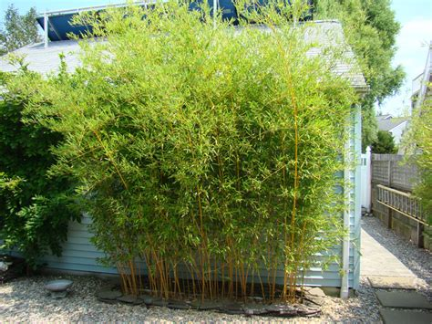 bamboo privacy portfolio hoch s landscaping