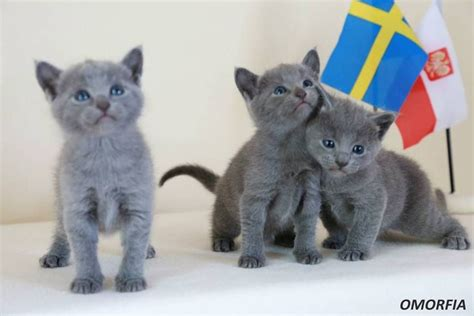 blue kittens for sale russian blue kittens for sale and cat breeders kittens