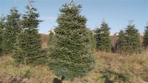 gower christmas tree goes on display for prime minister