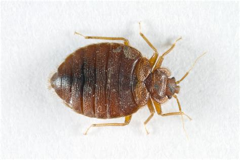 bed bug pesticides aepma pest profile bed bugs