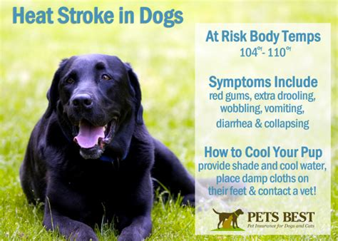 stroke in dogs how to tell if your is a heat stroke infographic