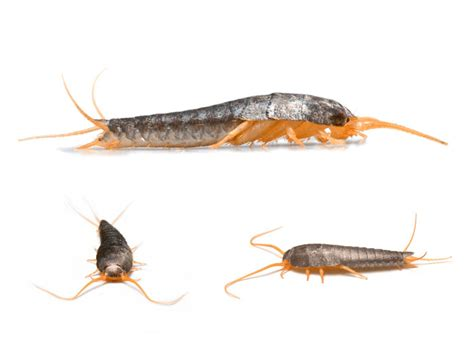 silverfish in bed how to get rid of silverfish bugs and what do they look