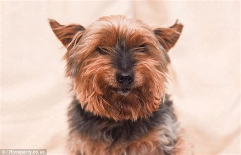 yorkie hind leg problems the terrier is believed to be britain s oldest at 26 daily mail