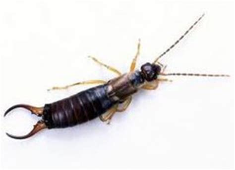 earwigs in bathroom manage bugs and other pests at the family cottage