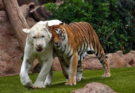 read free tigers in garden tiger pictures
