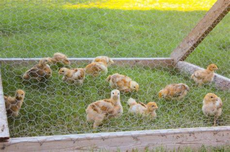 Backyard Chickens Cost How Much Does Raising Chicken Cost