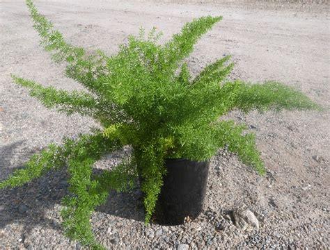 Shade Tropical Plants - asparagus densiflorus sprengeri t y nursery