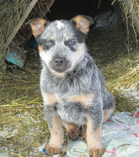 blue tick heeler puppies fleas ticks on blue heeler dogs in saskatchewan