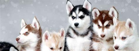 husky puppies houston husky houston your site for siberian husky pups
