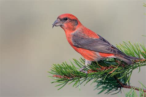 red crossbill 18