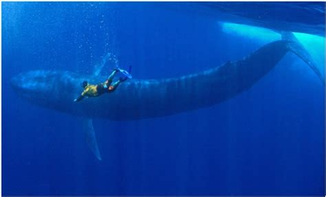 do you know these facts about blue whales