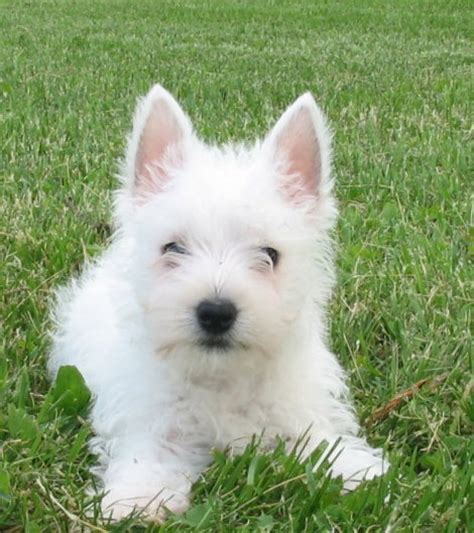 west highland white terrier puppies for sale white west highland white terrier puppies for sale in bradford white west