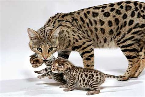 How Much Does A Savannah Cat Cost ?   LifeStyle9