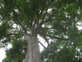 Tree Tx State Tree Pecan Tree Our