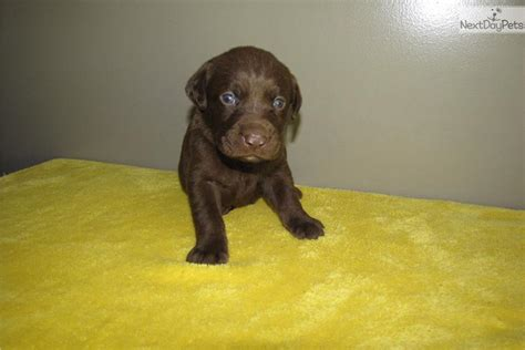 free chocolate lab puppies free chocolate labrador retriever puppies 40 cool hd wallpaper dogbreedswallpapers