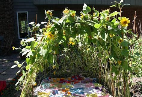 grow  sunflower house   farmers almanac