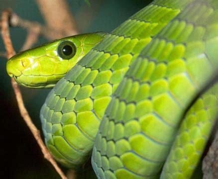 imagenes de viboras verdes serpientes venenosas reptils and more