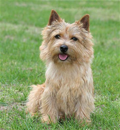 norwich terrier puppy norwich terrier breed information