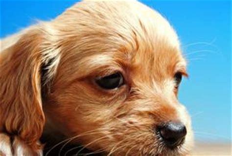 tumeurs de l oreille chez les chiens article