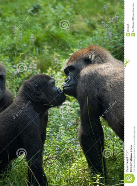 gorillas  love stock image image