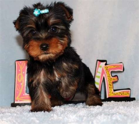 teacup yorkies australia adorable outstanding teacup yorkie puppies for sale adoption from perth australian