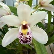orchidea cymbidium non fiorisce cymbidium orchidee orchidea cymbidium