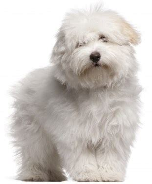 small fluffy breeds fluffy small breed dogs
