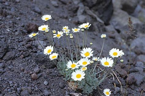 fiore della camomilla camomilla dell etna fioritura estiva pollicegreen