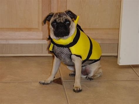 lifespan for pugs pugs in jackets