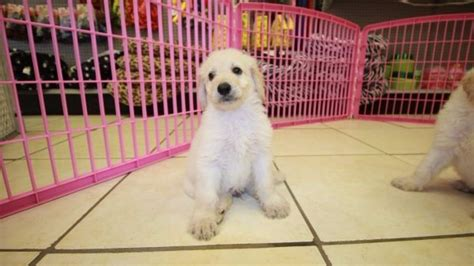 goldendoodle puppies for sale in ga goldendoodle puppies for sale in atlanta at puppies for sale local breeders