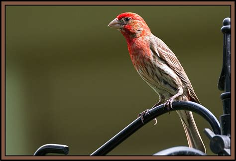 House Finch Facts 28 Images House Finch House Finches