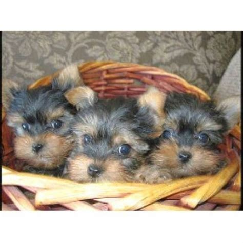 kennel a yorkie kkbelle s kennel terrier breeder in wasilla alaska