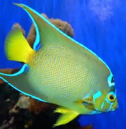 list of marine aquarium fish species wikipedia
