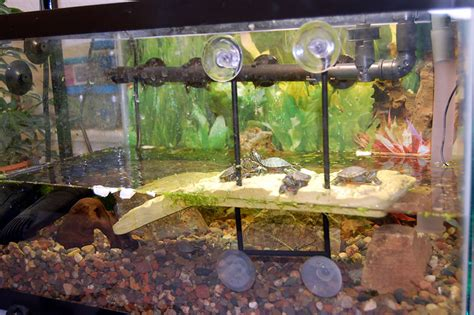aquarium design for turtles painted turtle tank they have rocks plants a floating