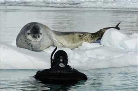 the friendly leopard seal neatorama