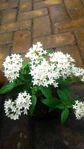 tanaman pentas white compact bibitbungacom