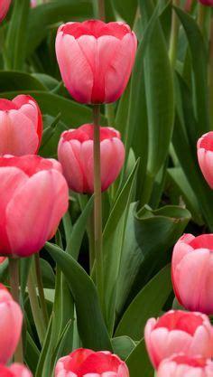 Benihbijibibit Bunga Tulip Bi Colour temple of single late tulip bold