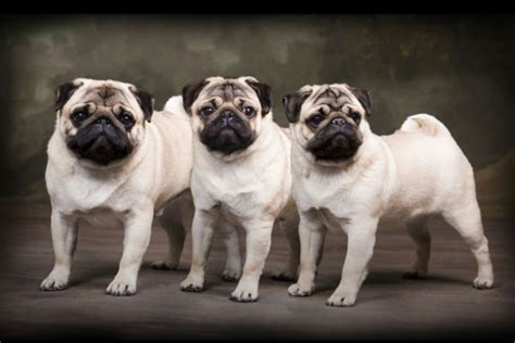 of pugs called 10 things you didn t about the pug american kennel club