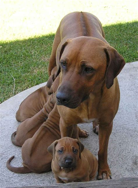 breed info rhodesian ridgeback breed information puppies pictures